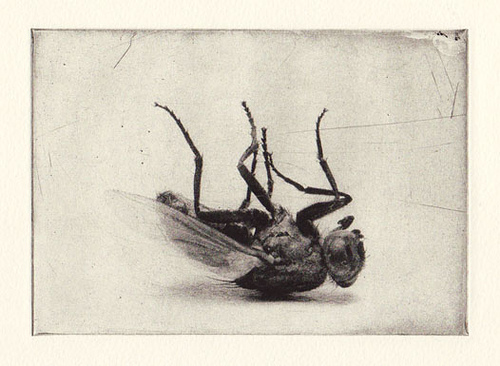 File:Fly photogravure.jpg
